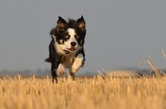 Border Collie, Running Dog, Campo