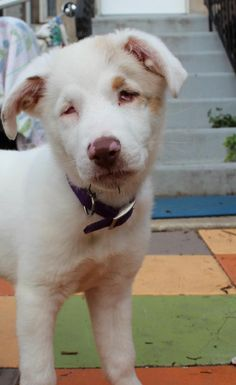 Sully - Australian Shepherd • Baby • Female • Medium  Cares4pets Philadelphia, PA  Hi! I wanted to share my story with you, I'm a double merle australian shepherd pup, and because of my breeding I was born blind and deaf. I know that sounds terrible, but I really don't let it slow me down! As you can see from my video I LOVE to play with toys, and I'm even learning some commands. I was born in early April, unfortunately they don't know my exact birthday.