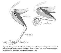 Bird Talon Anatomy Bird anatomy