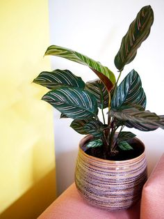 """Pinstripe Calathea BRIGHTNESS: Prefers medium light or bright indirect light. WATER: Water when top 1"""" of soil is dry (approx 1x a week).  Leaves curl up when thirsty. HUMIDITY: Normal to slightly higher humidity. Air purifying. Leaves fold vertically at night (as if clasping in prayer). Non-toxic"""