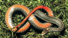 Photo of Adult Northern Red-bellied Snake courtesy of Mark Tegges