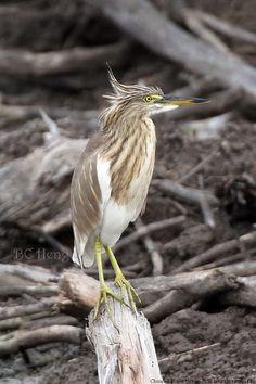 a455 20130202 Bangpu V Painted Stork\01 Birds\014 Chinese Pond Heron 池鹭 นกยางกรอกพันธุ์จีน
