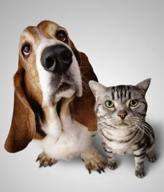 Despite the cliché about fighting like cats and dogs, it's perfectly possible for the two species to live happily under one roof. Introducing A New Dog, Cheap Pets, Homeless Dogs, Bassett Hound, Mundo Animal, Humane Society, Mans Best Friend, Dog Owners, Pet Care
