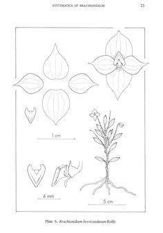 Brachionidium brevicaudatum