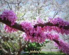 júdásfa