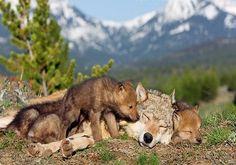Stop killing Wolves! — wonderous-world: Wolves develop close...