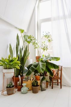 Lots of green indoor plants in white room with breezy large window