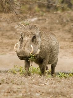 Wart hog! Reminds me of someone I know!!! Old dude  looks identical!