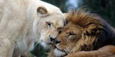Η καλύτερη ζύμη για πίτσα .: Ζύμες .: Ματιά Lion, Animals, Leo, Animales, Animaux, Lions, Animal, Animais