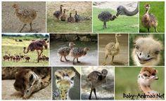 Ostrich  #babyanimals #babyostrich #ostrich #cuteostrich #littleostrich #sweetostrich #ostrichphotos #babyostrichpictures