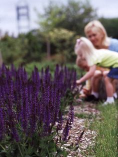 Perennial Sage Salvia is a wonderfully long bloomer. It starts flowering in early summer and continues through early autumn if you keep cutting the faded flowers off. It's also one of the most carefree perennials you pick for your garden. Zones 4-9