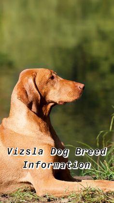 GOLDEN DOODLE Vinyl Sticker Decal AKC Registered Dog Breed Cat LOVE PET FRIEND