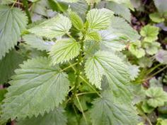 Urtica dioica (Stinging nettle) visit for identifiers
