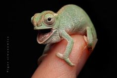 Chameleons can be cute as well!