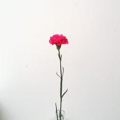 #Fleur du #Avril : #Oeillet