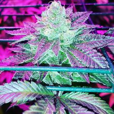 Sativa Strains, so what's you're favorite strain?  Sativa smoke that bowl and types medical marijuana evaluations, colorado medical marijuana, colorado marijuana law, can marijuana kill you, Nevada medical marijuana, blue dream marijuana, marijuana leaves. http://plantingpot.com is your source for all thing marijuana.