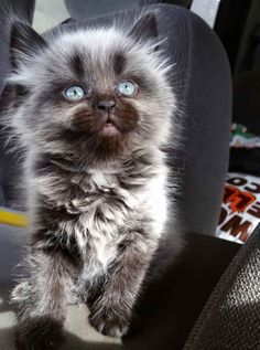 And this insanely adorable little werewolf kitten.