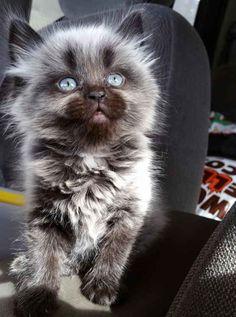 Et ce chaton loup-garou incroyablement adorable.