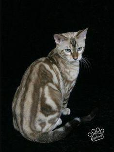 Marble Bengal Cat