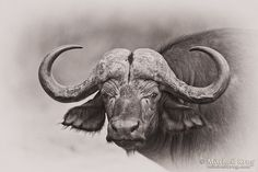 African Buffalo - Kruger National Park by Mitchell Krog on 500px