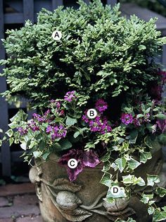 Add Beauty to an Evergreen        Adding cheery annuals is a fun way to dress up a plain evergreen for dose of summer-long color.        A. Boxwood (Buxus microphylla 'Green Gem') -- 1      B. Verbena 'Superbena Purple' -- 3      C. Coleus (Solenostemon 'Mississippi Summer') -- 3      D. Ivy (Hedera helix 'Glacier') -- 3