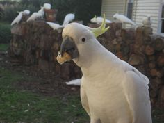 Cockatoos in Tasma Gardens, Daylesford, Victoria, Australia.  www.TasmaHouse.com