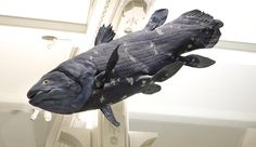 Coelacanths were thought to have disappeared from the fossil record about 70 million years ago, but in 1938 a fisherman caught a living coelacanth off the coast of South Africa. Museums In Nyc, Vertebrates, Natural History, Fossil, South Africa, Westerns, Whale, Lion Sculpture, Coast