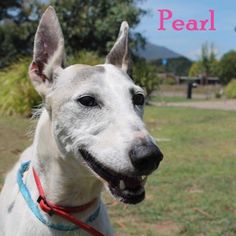 Meet Pearl  Pearl is an 8 year old darling Whippet.  March. That is when Pearl first came into our care. Five months of loving, tender care and she is finally ready for her forever home. Pearl endured two huge mammary strip surgeries. Healing from the first before going through the second major surgery.   Whilst 8 is not so old, she is feeling it a little bit in the mornings and is a bit slower to start than she would have been at 4 years of age. She might even benefit from pain killers in…