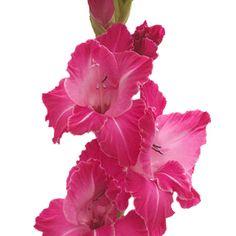 82 best dark pink wedding flowers images on pinterest dark pink fiftyflowers gladiolus hot pink flower mightylinksfo