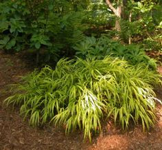 Hakenachloa aurea is a Coveted Plant in Shade or Sun.