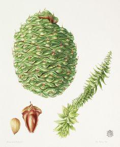 JOHN PASTORIZA-PIÑOL (MELBOURNE, 1975) Araucaria bidwillii [Bunya pinheiro]  - See more at: http://www.riley-smith.com/crispian/drawings/info.php?dwg=485#sthash.2rOc6QZN.dpuf araucarial.jpg (902×1110)