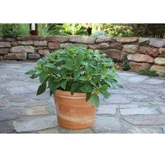 Salvia rutilans / Ananásová šalvia, K12 Planter Pots, Pineapple, Spices And Herbs, Sage