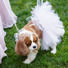 dog tutu in white for weddings. great for a flower girl or ring dogs :) Dog Tutu, White Bridal, Pearl Bridal, Girl And Dog, Queen, Event Design, Real Weddings, Flower Girl Dresses, Tutu Dresses