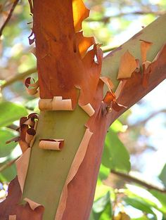 Arbutus menziesii, Pacific Madrone. This evergreen West-Coast native is best-loved for its lovely tissue-thin layers of many-colored bark that exfoliate to reveal a smooth, silvery-green trunk.