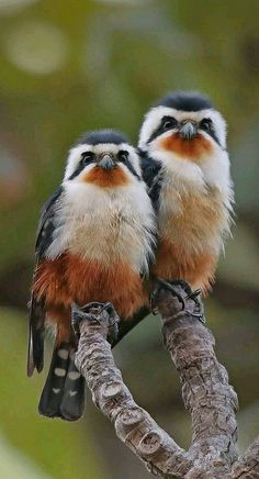 Birds of Prey - Stunning pair of Collared Falconets found in Asia. - photographer Sheav Torng Lim