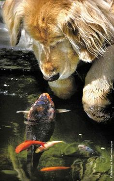 A big goldfish, or koi, named Falstaff swims over to the pond's edge for another meeting with a golden retriever named Chino in a backyard pond in Oregon
