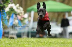 Cocker Mix Bijou Ist es ein Flugzeug? Eine Rakete? Ein Vogel? Nein, es ist Super-Bijou!!!   #Hundename: Bijou / Rasse: #Cocker Mix      Mehr Fotos: https://magazin.dogs-2-love.com/foto/cocker-mix-bijou/ Foto, Hund, Tier