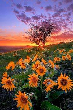 Beautiful Sunflowers and Balsam Root and Tree at Sunset Palouse by Chip Phillips. I love the Palouse.