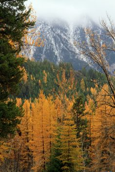 """expressions-of-nature: """" Typical Fall Day by GlacierNPS Western Larch, Montana """""""