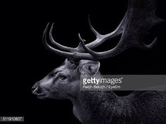 Stock Photo : Profile shot of stag over black background