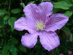 Clematis- zarte Ranken mit auffallenden Blüten