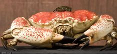 Giant crab found in Tasmanian waters, Australia. Named Claude, the crab weighs 6.8 kilos (15lbs) and measures 38cm (15in). When he is fully grown, Claude will weigh 13.6 kilos (30lbs) and gain an added 3 inches!
