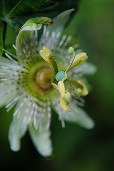 passion flower photography - Google Search