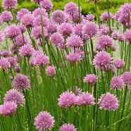 Q&A Companion Planting – Fruit Trees Chives Plant, Grow Chives, Planting Fruit Trees, Spring Plants, Herb Seeds, Hardy Perennials, Companion Planting, Lavender Flowers, Apple Tree