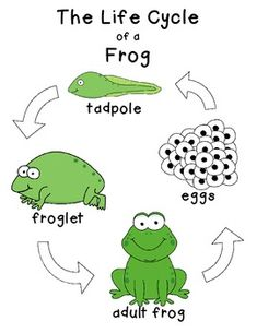 Frog Life Cycle in English - Free
