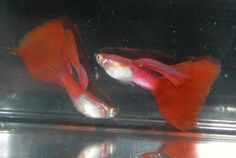 red guppies