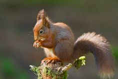 Redsquirrel eating 2012CC BY-SA 3.0view terms Paul Whippey - Own work