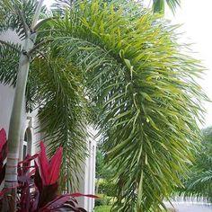 Wodyetia bifurcata 'Foxtail Palm'