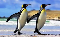 Emperor penguins are the largest penguin species and the fifth largest species. They can be more than 1.20 meters high with a maximum weight of over 45 kilograms.