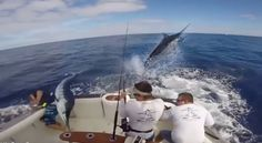 Giant marlin almost impaled fisherman